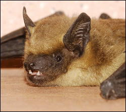 bat removal Bedford