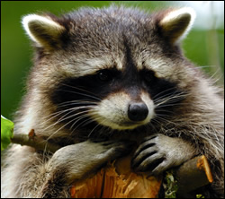 raccoon removal Bedford