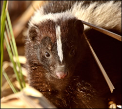 skunk removal Bedford